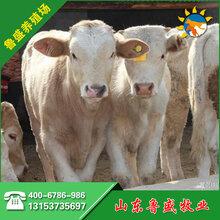 夏洛莱牛养殖场3-6个月小牛犊出售图片
