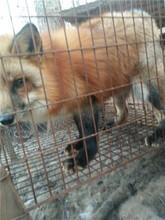 狐狸养殖视频图片