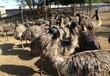 三沙市鸵鸟销售