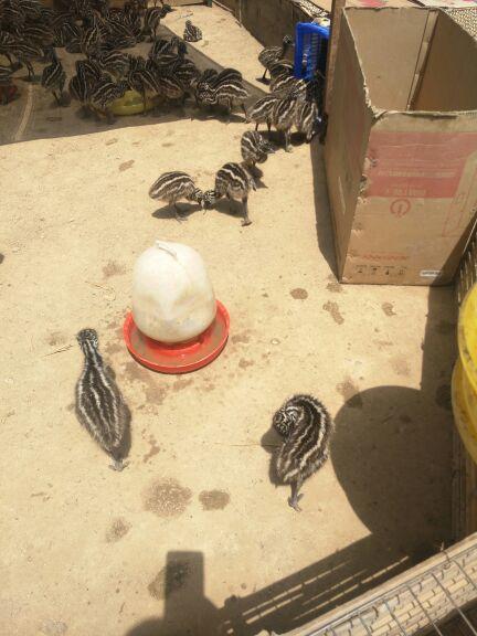 邯郸市什么地方有卖小鸵鸟的