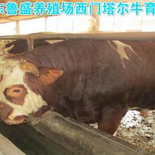 秦皇岛市利木赞牛养殖场图片