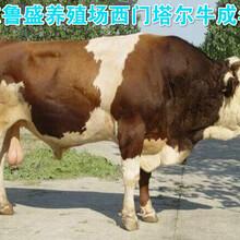 呼和浩特市利木赞牛养殖场图片