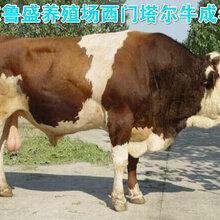 渭南市鲁西黄牛价格行情图片