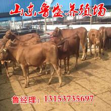怒江夏洛莱牛养殖场图片