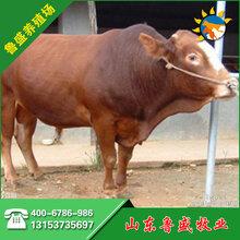定西市鲁西黄牛多少钱一头图片