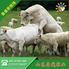 玉溪市夏洛莱牛养殖场图片