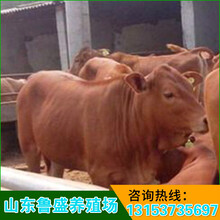 芜湖市利木赞牛养殖场图片