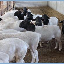 杜泊绵羊养殖技术图片