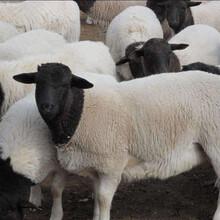 杜泊绵羊养殖基地图片