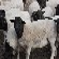 云浮如何养绵羊
