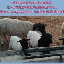 杜泊绵羊养殖图片