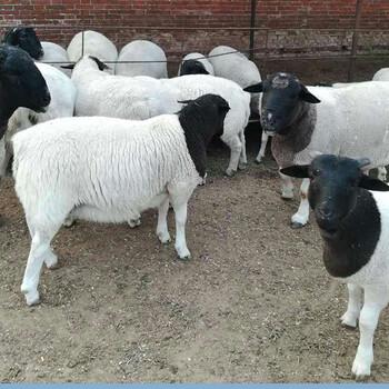 运城绵羊多少钱