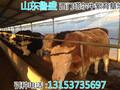 黄冈市牛交易市场图片
