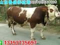 黄冈市小黄牛牛苗价格图片