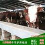 黄冈市哪里有卖黄牛牛犊的图片