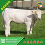 黄冈市哪里有卖小牛犊图片