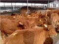 改良牛牛苗的价格图片