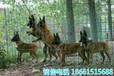 迪庆猎犬养殖场