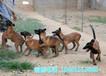衢州市猎犬养殖场