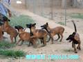 佳木斯市马犬幼犬多少钱一只图片
