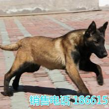潮州市马犬出售图片
