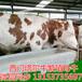 黄冈市小牛犊现在什么价钱