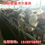 武汉市出售牛苗图片