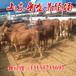 湘西现在黄牛多少钱1斤