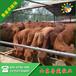 宜昌市鲁西黄牛肉牛养殖场