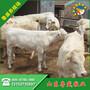 淮北市鲁西黄牛牛苗价格图片