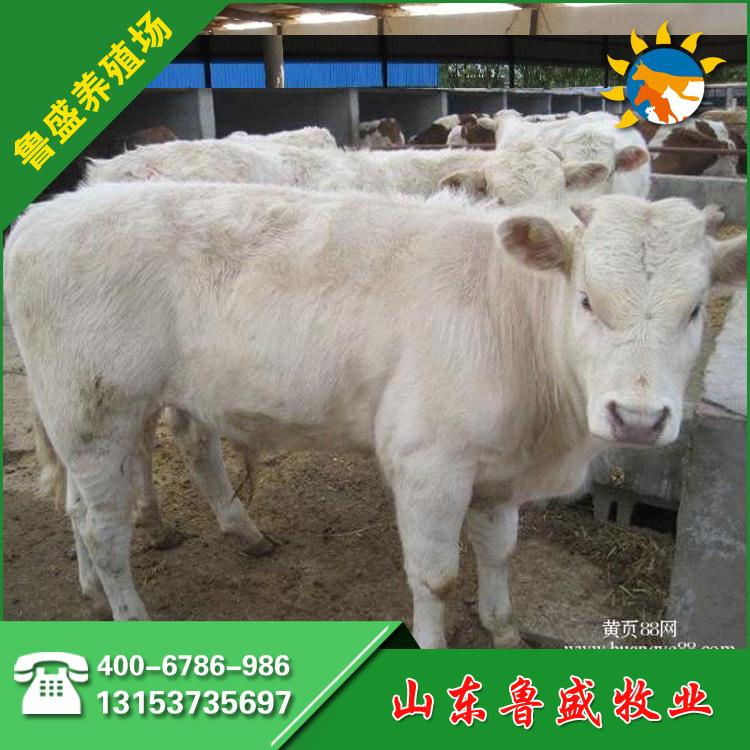 阜阳市哪里有卖肉牛犊的