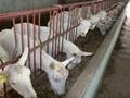 宁夏回族自治区固原奶山羊公羊图片