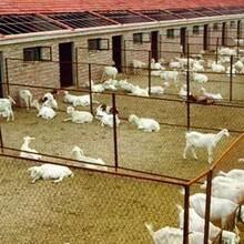 湖北黄冈吐根堡奶山羊图片
