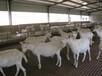 山西阳泉奶山羊的养殖