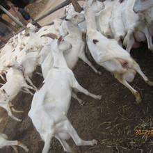 新疆克拉玛依奶山羊的品种图片