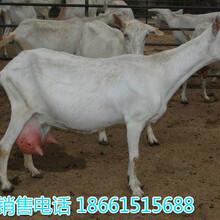 四川南充奶山羊的品种图片