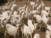 河南鹤壁卖奶山羊