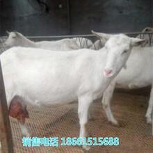 陕西商洛奶山羊养殖场图片