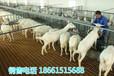 广东湛江山羊的养殖