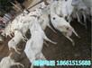江西赣州奶山羊批发