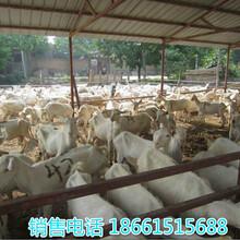 甘肃临夏回族自治州关中奶山羊图片