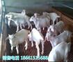 云南普洱奶山羊公羊图片