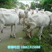 广东汕尾吐根堡奶山羊图片