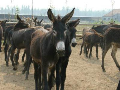岳西县哪里有养驴厂