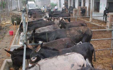 抚远县大型养驴场在哪里
