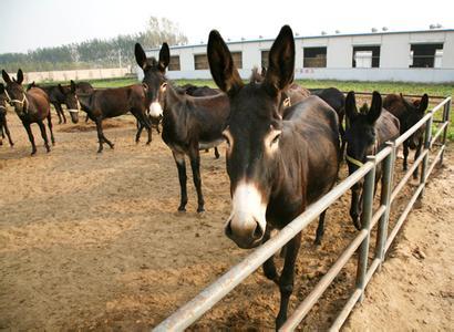 海南乌头驴养殖基地
