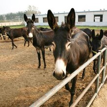 贵池德州驴养殖基地图片