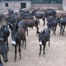 贵池大型养驴场在哪里图片