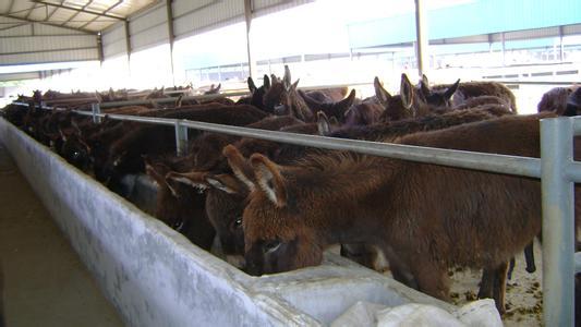 五原县乌头驴养殖基地
