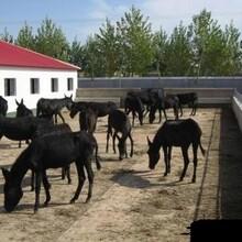 商州大型养驴场在哪里图片
